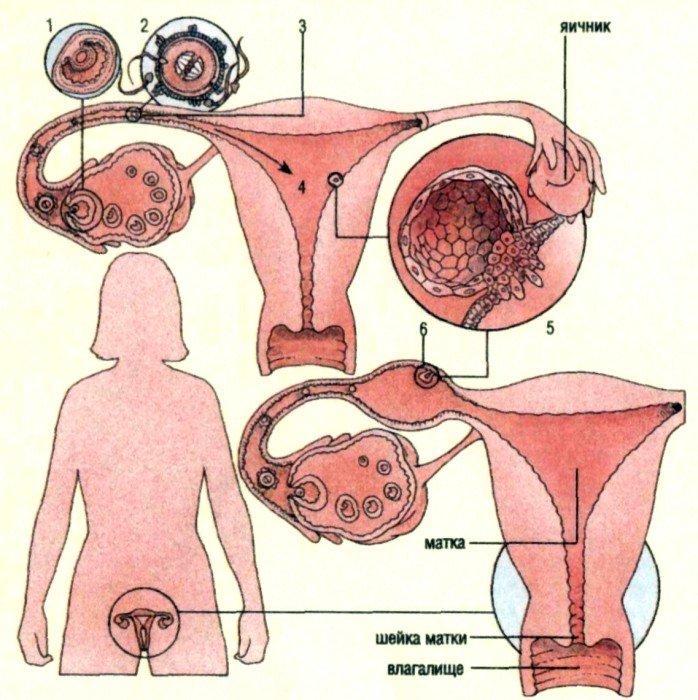 беременна не: